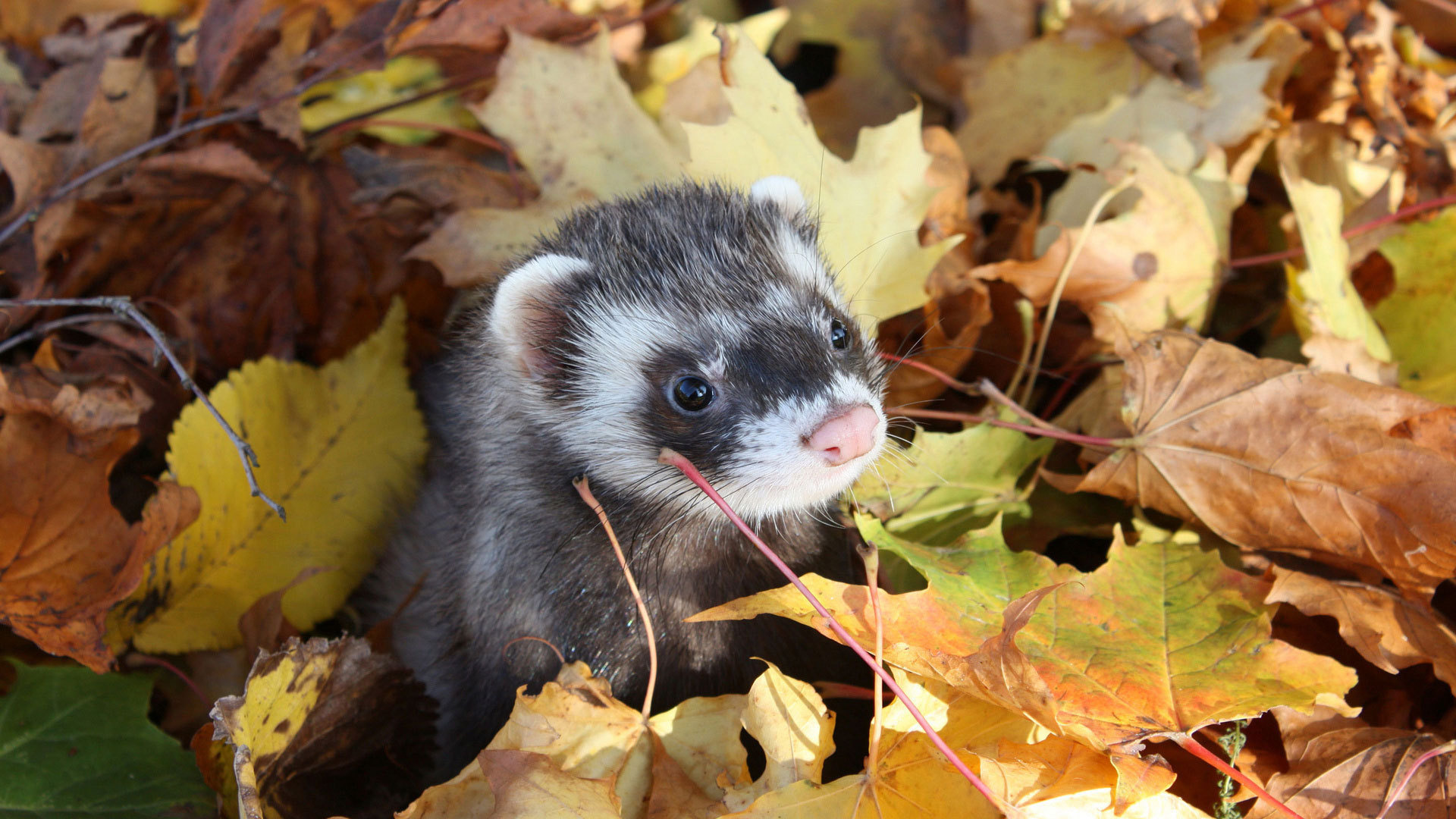 31 ferret hd wallpapers backgrounds wallpaper abyss