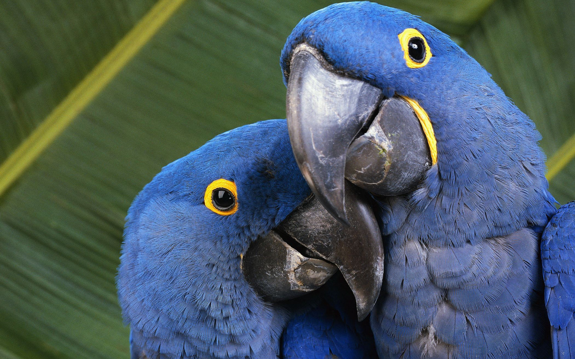 Blue Macaws Computer Wallpapers, Desktop Backgrounds ...