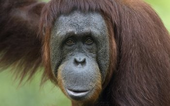 Animal - Orangutan Wallpapers and Backgrounds ID : 260846