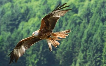 Animal - Hawk Wallpapers and Backgrounds ID : 262214