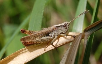 Animal - Grasshopper Wallpapers and Backgrounds ID : 262338