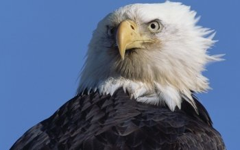 Animal - Eagle Wallpapers and Backgrounds ID : 263978