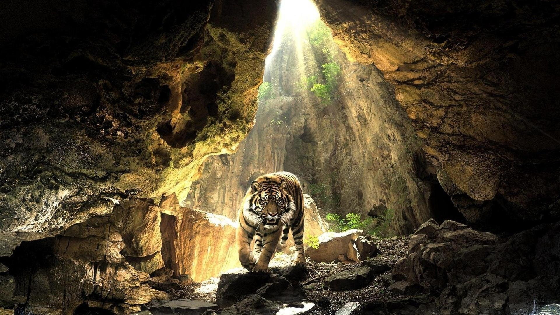 Animal - Tiger  Cave Cat Animal Wallpaper