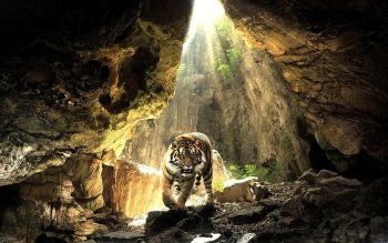 Animalia - Tigre Wallpapers and Backgrounds ID : 264606