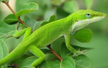 Animal - Green Anole Wallpapers and Backgrounds ID : 265744
