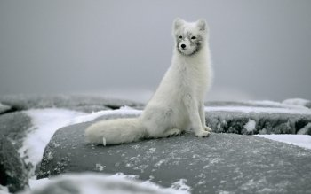 Animal - Arctic Fox Wallpapers and Backgrounds ID : 266604