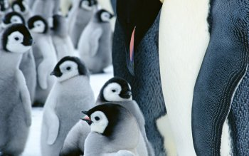 Animal - Penguin Wallpapers and Backgrounds ID : 266858
