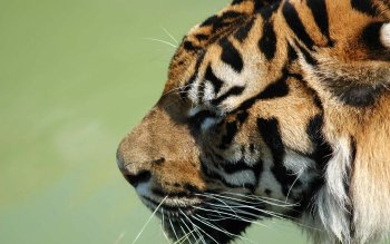 Animal - Tiger Wallpapers and Backgrounds ID : 26756