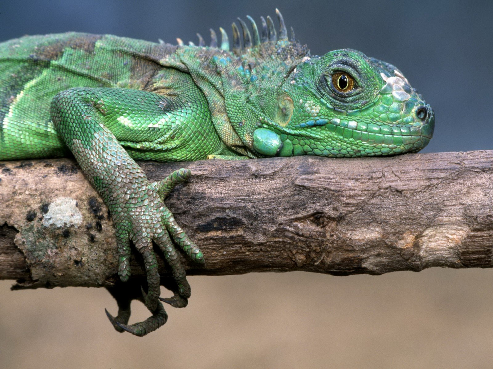 Animal - Iguana  Reptile Wallpaper
