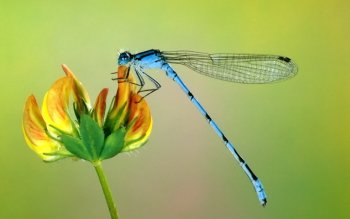 Animal - Dragonfly Wallpapers and Backgrounds ID : 26814