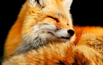 Animal - Fox Wallpapers and Backgrounds ID : 268534