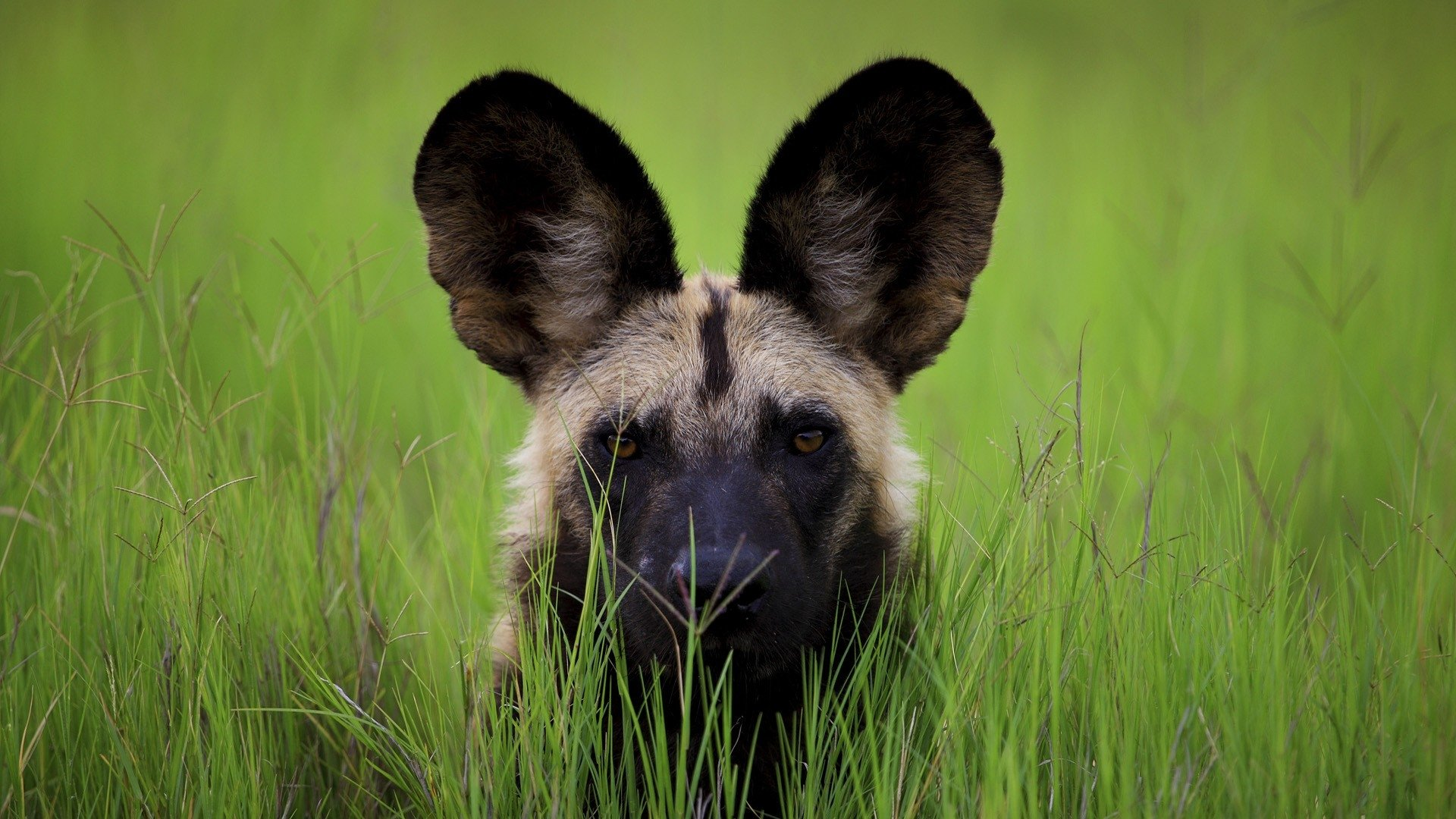 7 African Wild Dog HD Wallpapers