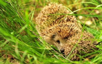 Animal - Hedgehog Wallpapers and Backgrounds ID : 271708