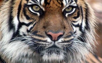 Animal - Tiger Wallpapers and Backgrounds ID : 275716