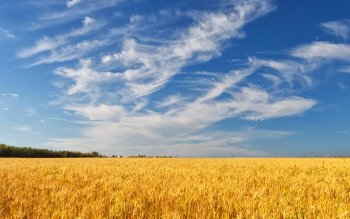 Earth - Wheat Wallpapers and Backgrounds ID : 275824
