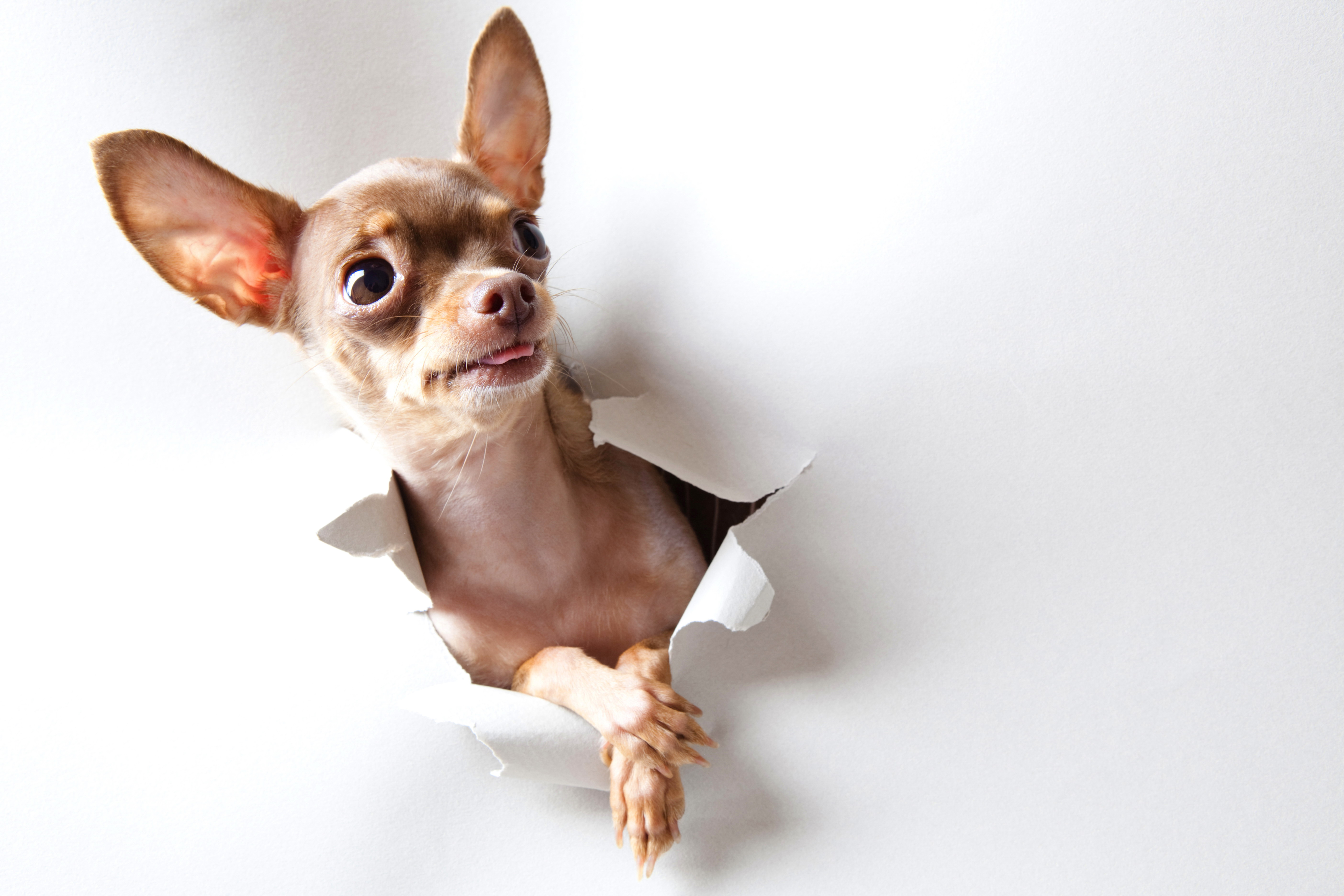 39 chihuahua hd wallpapers background images wallpaper abyss hd wallpaper background image id276666 voltagebd Images