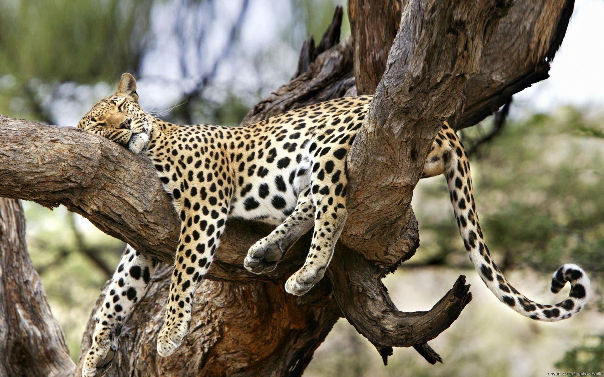 jaguar full hd wallpaper and background image | 1920x1200 | id:276998