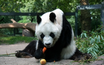 Animal - Panda Wallpapers and Backgrounds ID : 276078