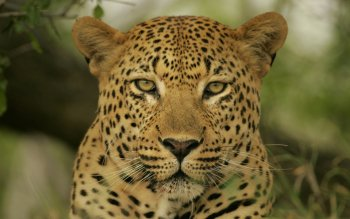 Animalia - Leopard Wallpapers and Backgrounds ID : 276084