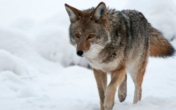 Animal - Coyote Wallpapers and Backgrounds ID : 276088