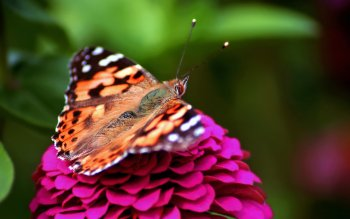 Animalia - Mariposa Wallpapers and Backgrounds ID : 276114