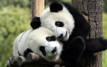 Animal - Panda Wallpapers and Backgrounds ID : 276178