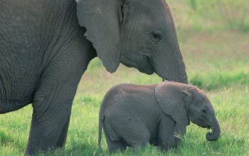 Animal - Elephant Wallpapers and Backgrounds ID : 276878