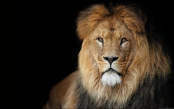 Animal - Lion Wallpapers and Backgrounds ID : 276996