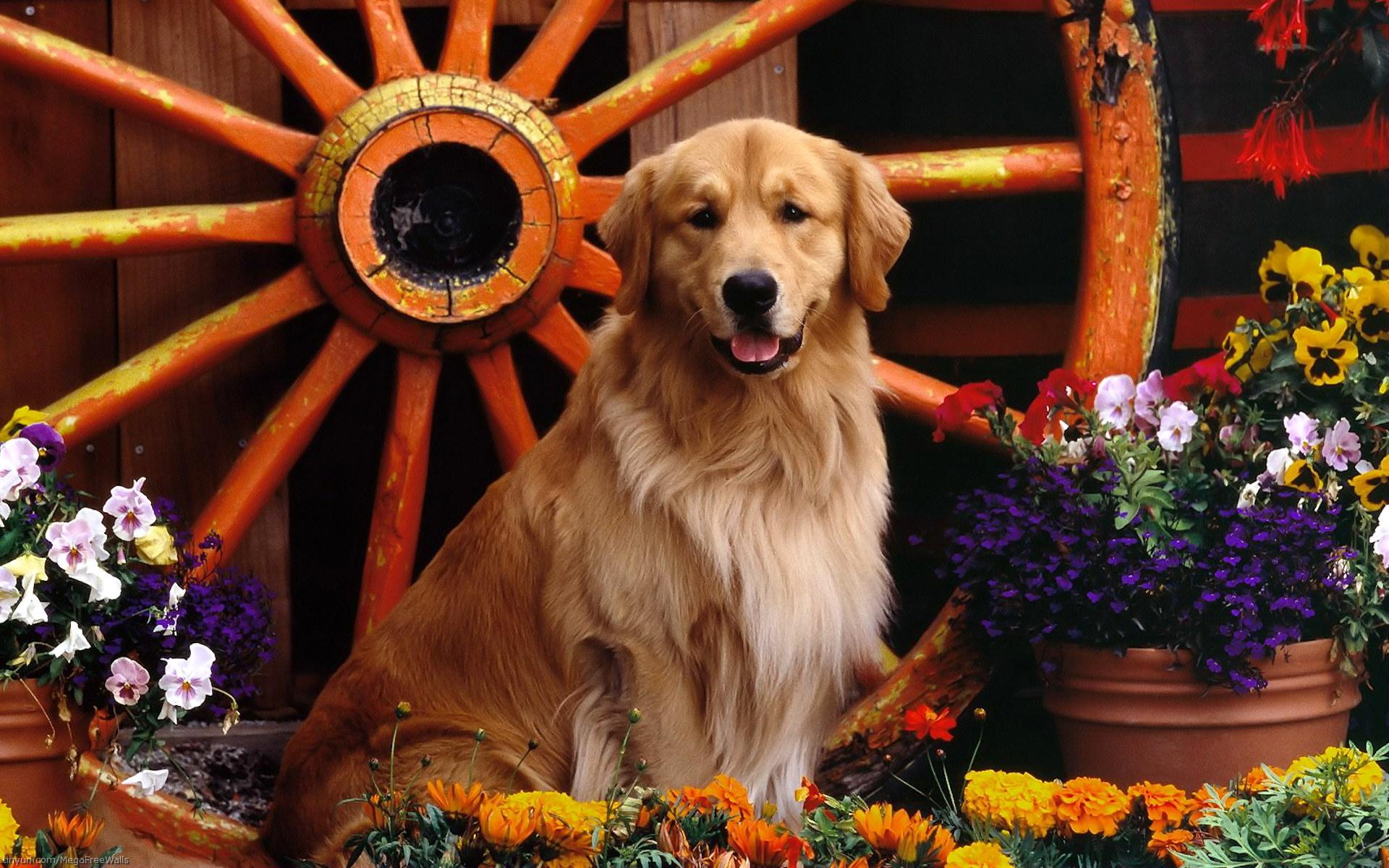 Animal - Golden Retriever  Dog Flower Retriever Animal Wallpaper