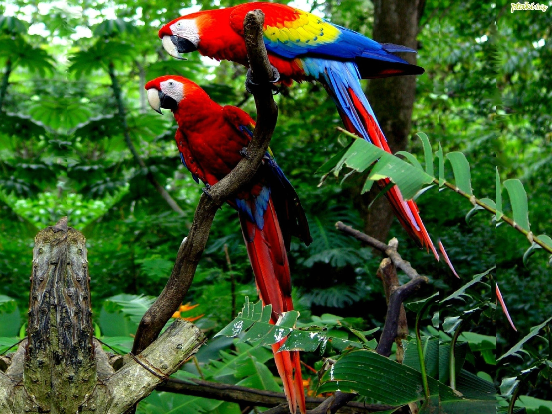 Scarlet macaw full hd wallpaper and background image - Hd pics of nature with birds ...