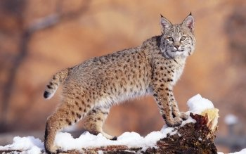 Animal - Lynx Wallpapers and Backgrounds ID : 277056