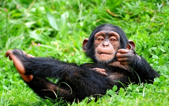 Animal - Chimpanzee Wallpapers and Backgrounds ID : 277556