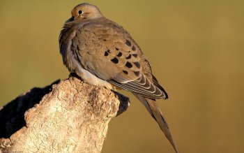 Animalia - Dove Wallpapers and Backgrounds ID : 277986