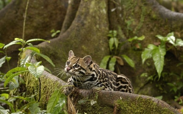 Animal Ocelot Cats HD Wallpaper   Background Image