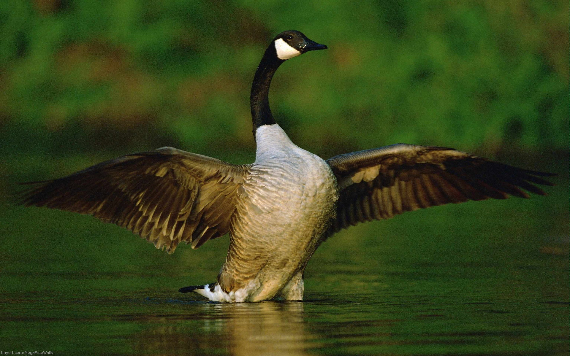 Goose HD Wallpaper   Background Image   1920x1200   ID ...