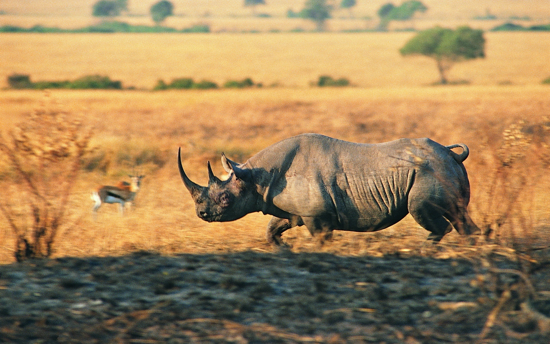 Charging Rhino Full HD Wallpaper And Background Image
