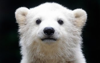 Animalia - Oso Polar Wallpapers and Backgrounds ID : 279356