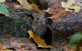 Animal - Mouse Wallpapers and Backgrounds ID : 279384