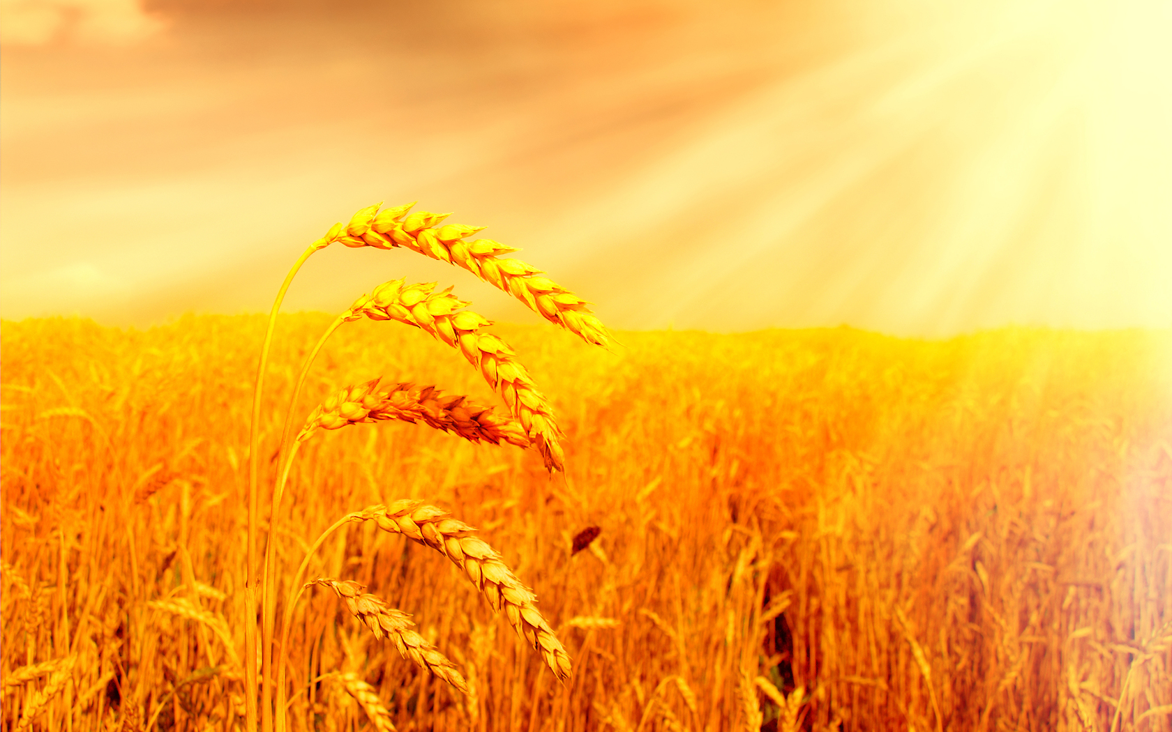 Wheat Comput... Harvest Background Images For Desktop