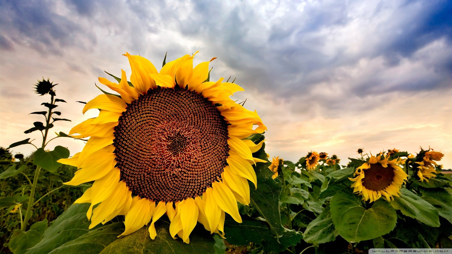 sunflower 8 wallpaper 1920x1080 - photo #3