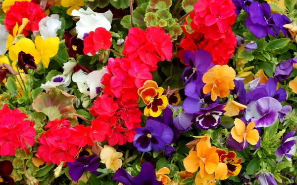 Earth Flower Flowers Pansy HD Wallpaper | Background Image