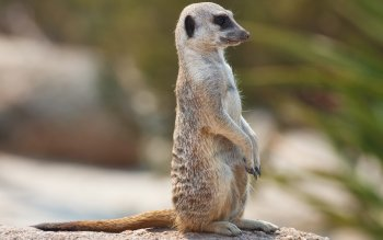 Animal - Meerkat Wallpapers and Backgrounds ID : 284436