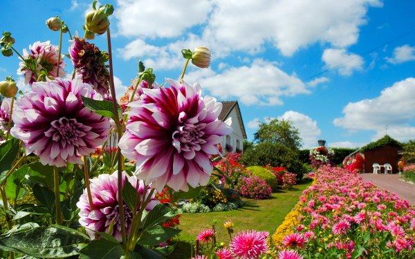 Man Made Garden Dahlia Flower HD Wallpaper | Background Image