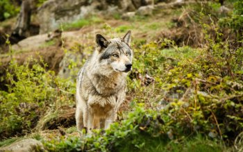 Animal - Wolf Wallpapers and Backgrounds ID : 286358