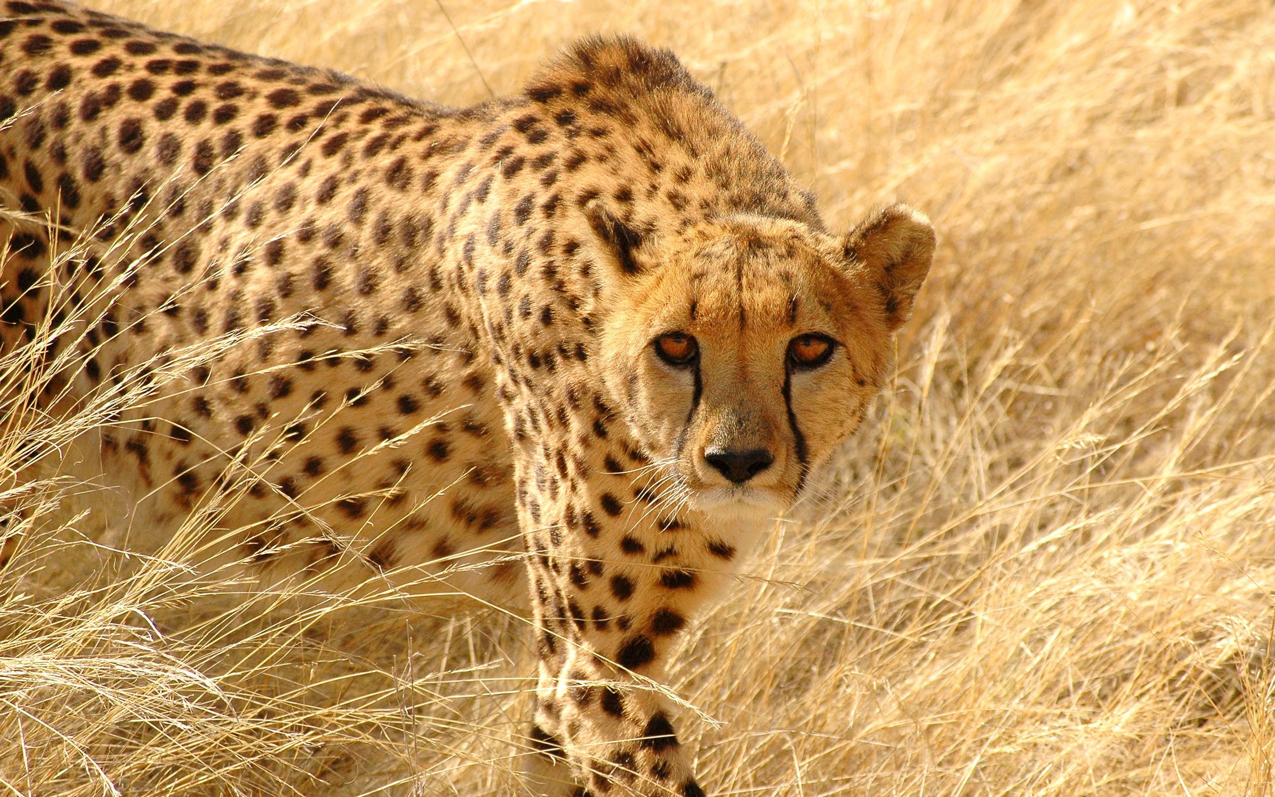 Cheetah HD Wallpaper | Background Image | 2560x1600 | ID:287226 - Wallpaper Abyss