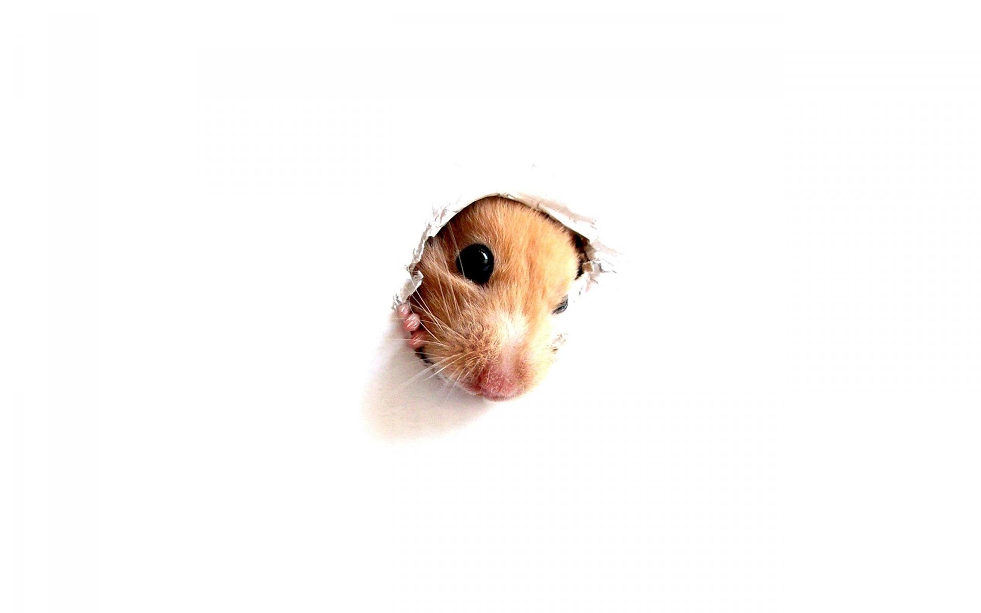 hamster full hd fond d 39 cran and arri re plan 1920x1200 id 289998. Black Bedroom Furniture Sets. Home Design Ideas