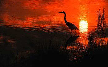 Animal - Heron Wallpapers and Backgrounds ID : 289216