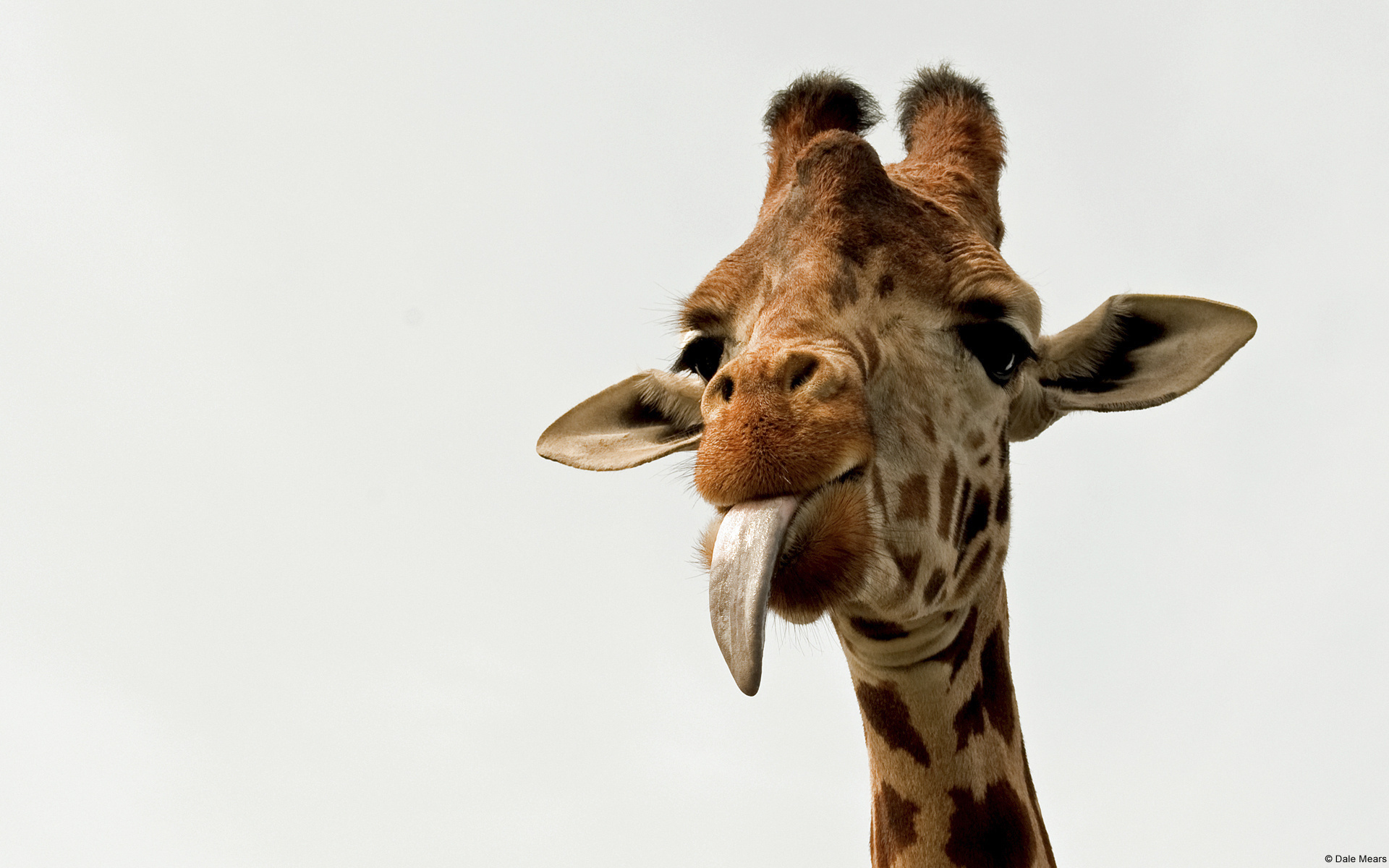 Giraffe Full HD Wallpaper and Background Image | 1920x1200 ...