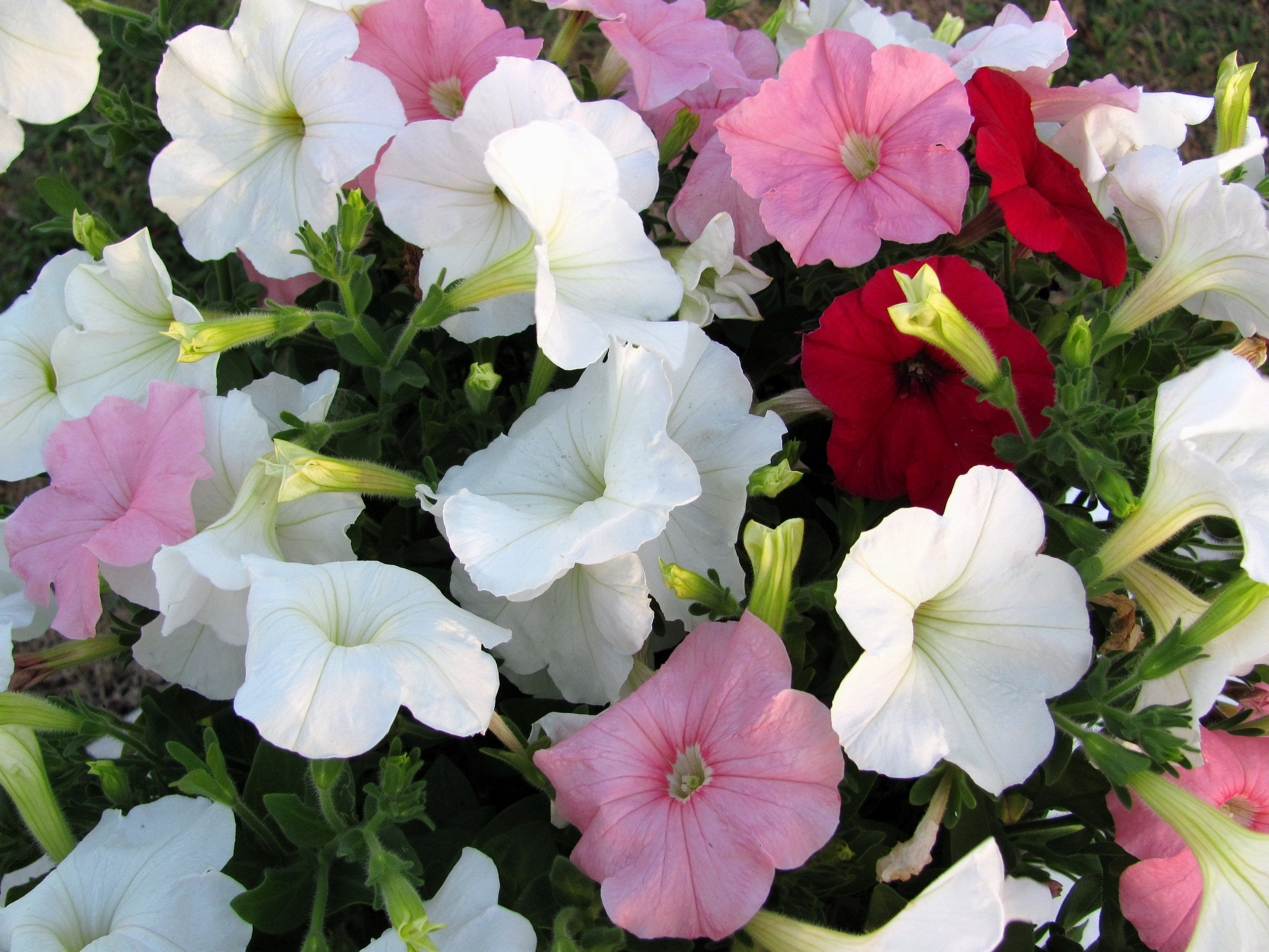 11 Petunia Hd Wallpapers Backgrounds Wallpaper Abyss