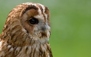 Animal - Owl Wallpapers and Backgrounds ID : 294094